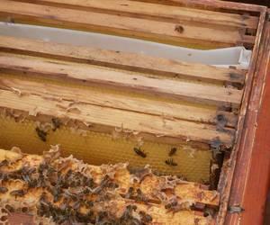 Bienen krabbeln im Inneren des Bienenstocks auf den Honigwaben umher
