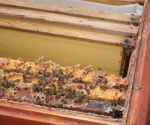 Bienen krabbeln im Bienenstock umher